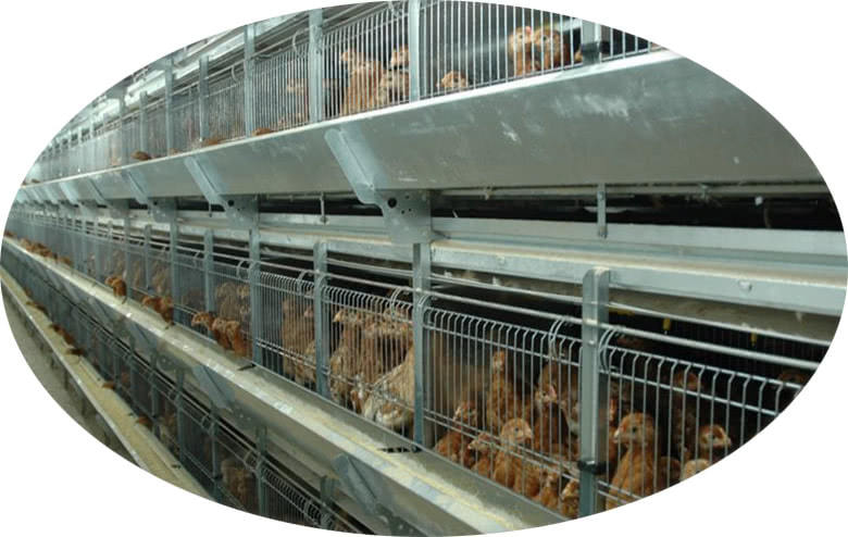 Egg Chick Cage Systems Feeding System